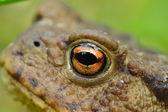 Bufo bufo eye detail — Stock Photo