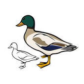 Mallard duck — Stock Vector