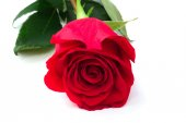 Rose flower on a white background soft selective focus — Stockfoto