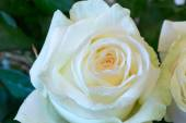 Blur style for background abstract floral  is blurred of roses selective soft focus  — Stock Photo