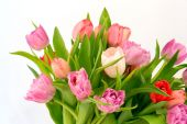Bouquet of tulips isolated on white background selective soft focus toned photo — Stock Photo