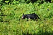 Wild Black Bear Grazing in a Wild Blueberry Area — Foto Stock