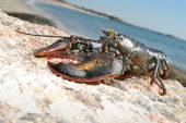 Lobster Sunning on a Rocky Beach — Foto Stock