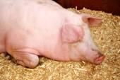 Sleepy Pig — Stock Photo