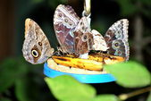 Butterflies Feeding — Stock Photo