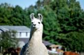 Alpaca Farm — Stock Photo