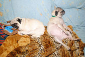 Two Funny Pugs Sleeping-Concept of a Hang Over — Foto de Stock
