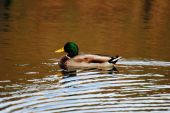 Male Mallard Duck Swimming in a Pond — Zdjęcie stockowe