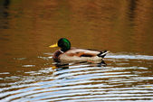 Male Mallard Duck Swimming in a Pond — ストック写真