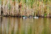 Mallard Ducks Feeding on the Edge of a Pond — Photo