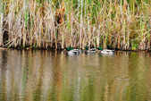 Mallard Ducks Feeding on the Edge of a Pond — Foto Stock