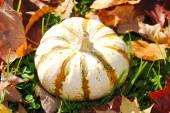 White Pumkin with Stripes on Fall Grass — Stock Photo