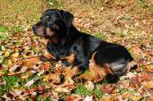 Old Rottweiler Laying in the Autumn Leaves — Stock Photo