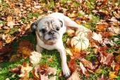 A Blind Pug Enjoying the Fall Sunny Weather — Stock Photo