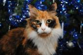 Calico Cat in Front of a Decorated Christmas Tree — Stock Photo