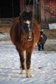 Snow Horse Running — Stock Photo