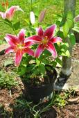Potted Star Gazer Lily — Stock Photo