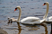 Mute Swan Family — Stock Photo