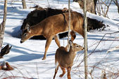 Mama Deer with a Foe in Med-Winter — Stock Photo