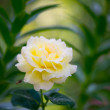 Beautiful  fresh  yellow rose and a bee — Stock Photo #54586423