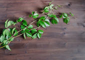 Green branch of wild grapes on wooden table — Photo
