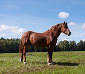 Dark bay horse in a meadow  — Stockfoto