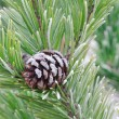 Pine twig with cone — Stock Photo #65218473