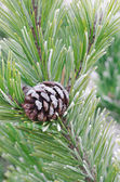 Pine twig with cone — Stock Photo