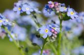 Forget me not flowers  — Foto Stock