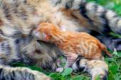 Tiny kitten feeding — Stockfoto