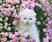 Scottish fold kitten — Stock Photo