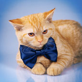Cute siamese cat wearing bow tie — Photo