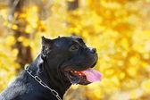 Cane corso dog — Stock Photo