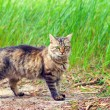 Cat walking on grass — Stock Photo #56703247