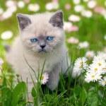 Siamese kitten in the daisy lawn — Stock Photo #58674723