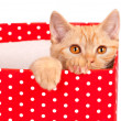 Cute kitten look out of the red gift box — Stock Photo #59958971
