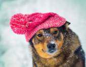 Purebred dog in hat — Stock Photo