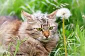 Cat with dandelion flower — Stock fotografie