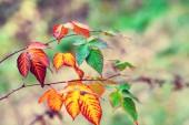 Autumn colorful bramble — Stock Photo
