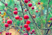 Red organic apples on branch — Stock Photo