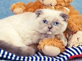 Cute Scottish fold kitten — Stock Photo