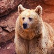 Wild grizzly bear — Stock Photo #63820995