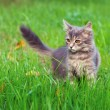 Cat on green lawn — Stock Photo #69182655