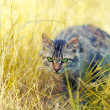 Cat hunting in grass — Stock Photo #69997849
