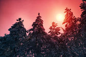 Snowy forest at sunset — Stock Photo