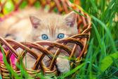 Krämig kattunge i en korg — Stockfoto