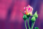 бутон розы — Стоковое фото