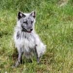 Arctic fox — Stock Photo #76965087
