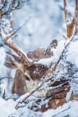 Arizona Winter Mule Deer — Stock Photo