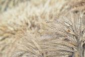 A colheita de cereais. Reunidos de polias — Fotografia Stock